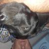 Vendo cuccioli Labrador
