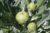 Ovuli per piantare il carciofo bianco di pertosa